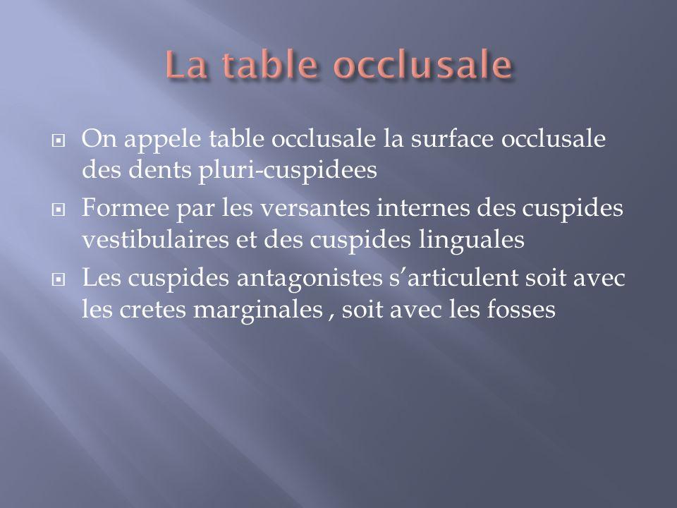 On appele table occlusale la surface occlusale des dents pluri-cuspidees Formee par les versantes internes des cuspides vestibulaires et des cuspides linguales Les cuspides antagonistes sarticulent soit avec les cretes marginales, soit avec les fosses