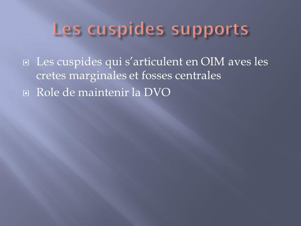 Les cuspides qui sarticulent en OIM aves les cretes marginales et fosses centrales Role de maintenir la DVO