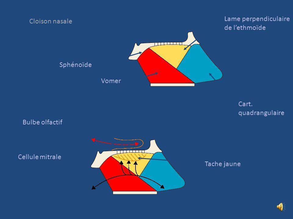 Coupe frontale passant par le sinus maxillaire et les fosses nasales Os maxillaire droit et gauche