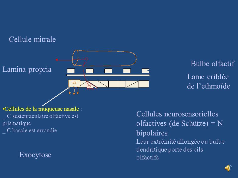 Région olfactive = tâche jaune Lépithélium olfactif occupe la partie sup du cornet nasal sup et la surf inf de léthmoïde La région olfactive au nx des cornet sup contient des cellules olfactives