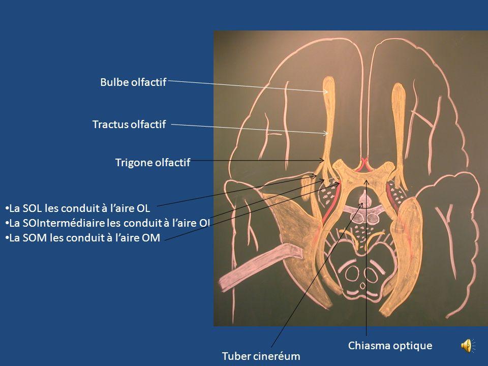 SENSIBILITE SPECIALE: LOLFACTION VOIES OLFACTIVES ET REFLEXES (MEMORISATION) Tache Jaune de la muq nasale Lame criblée de lethmoïde C bipolaire neuros