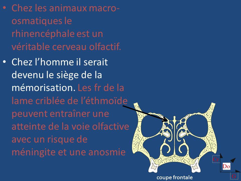 Les impressions olfactives se rendent de la muqueuse nasale au cortex rhinencéphalique et créent ainsi des sensations et des réflexes. Chez lhomme les