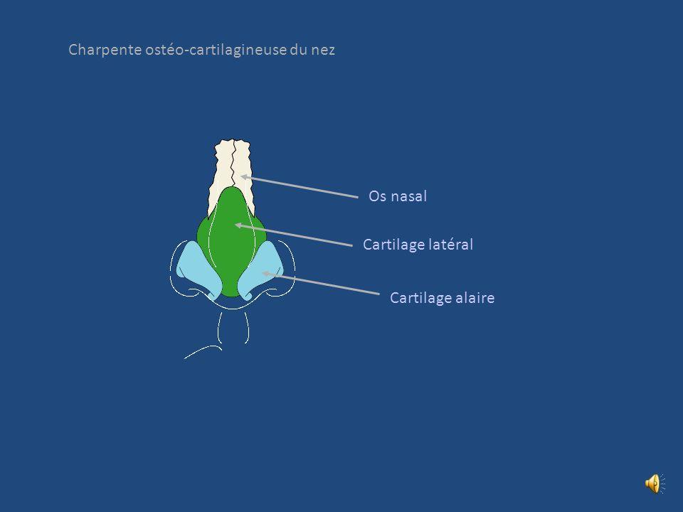 Charpente ostéo-cartilagineuse du nez Os nasal Cartilage latéral Cartilage alaire