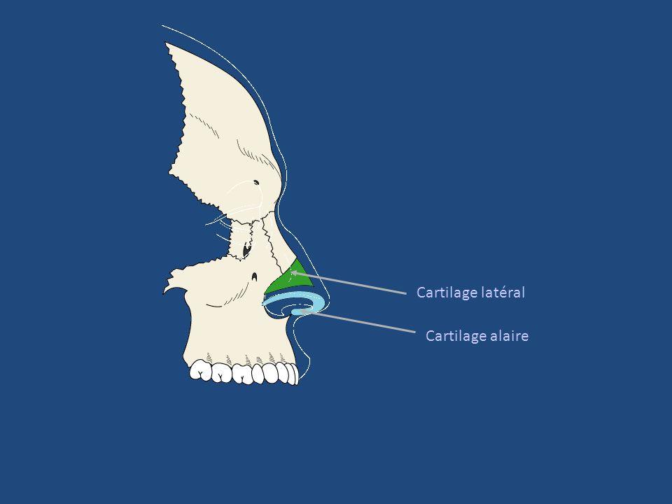 Bulbe olfactif = aspect stratifié