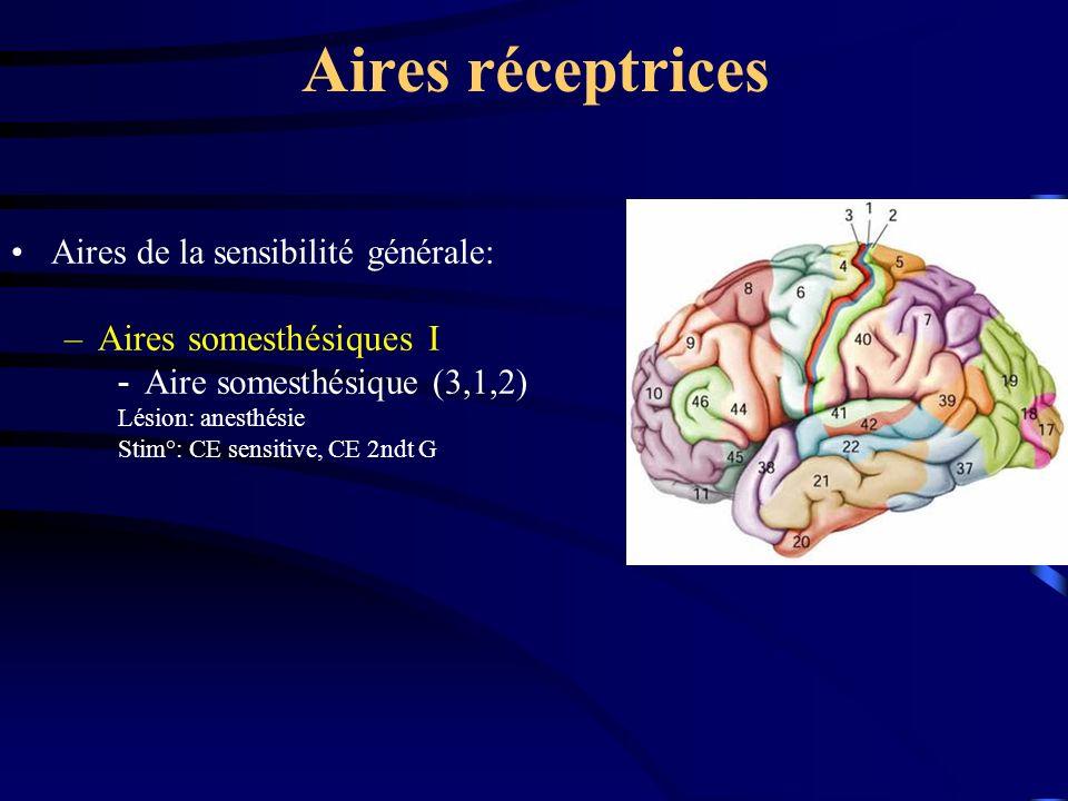 Aires réceptrices Aires de la sensibilité générale: –Aires somesthésiques I Aire somesthésique (3,1,2) Lésion: anesthésie Stim°: CE sensitive, CE 2ndt G