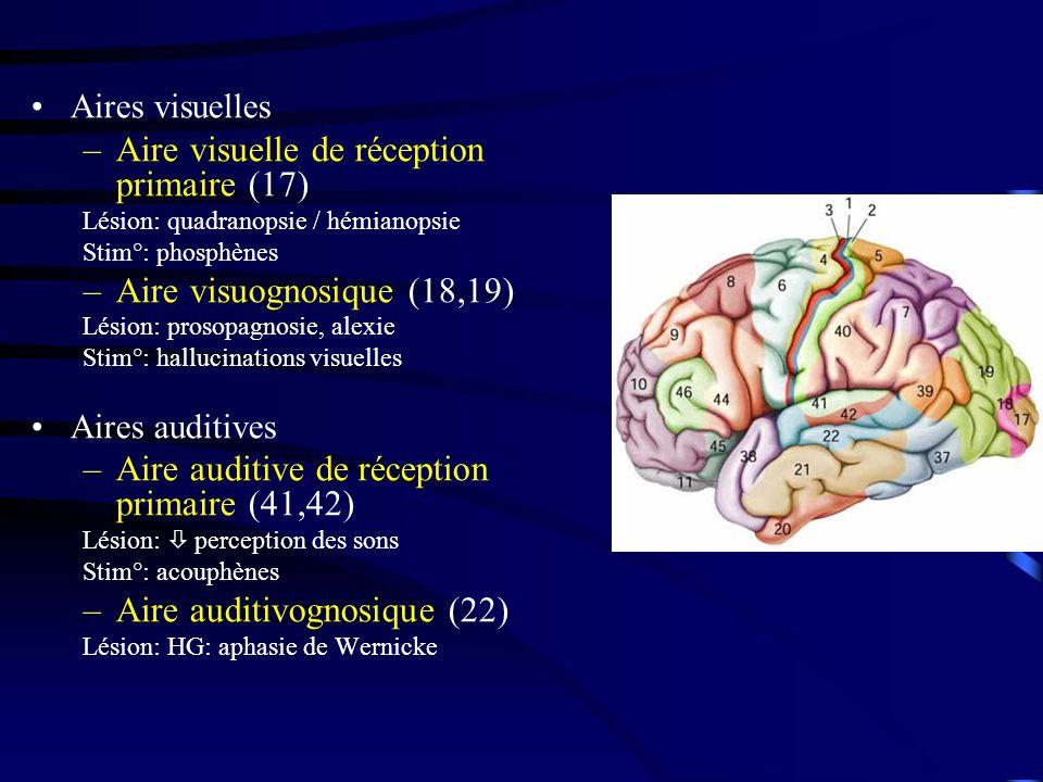 Aires visuelles –Aire visuelle de réception primaire (17) Lésion: quadranopsie / hémianopsie Stim°: phosphènes –Aire visuognosique (18,19) Lésion: prosopagnosie, alexie Stim°: hallucinations visuelles Aires auditives –Aire auditive de réception primaire (41,42) Lésion: perception des sons Stim°: acouphènes –Aire auditivognosique (22) Lésion: HG: aphasie de Wernicke