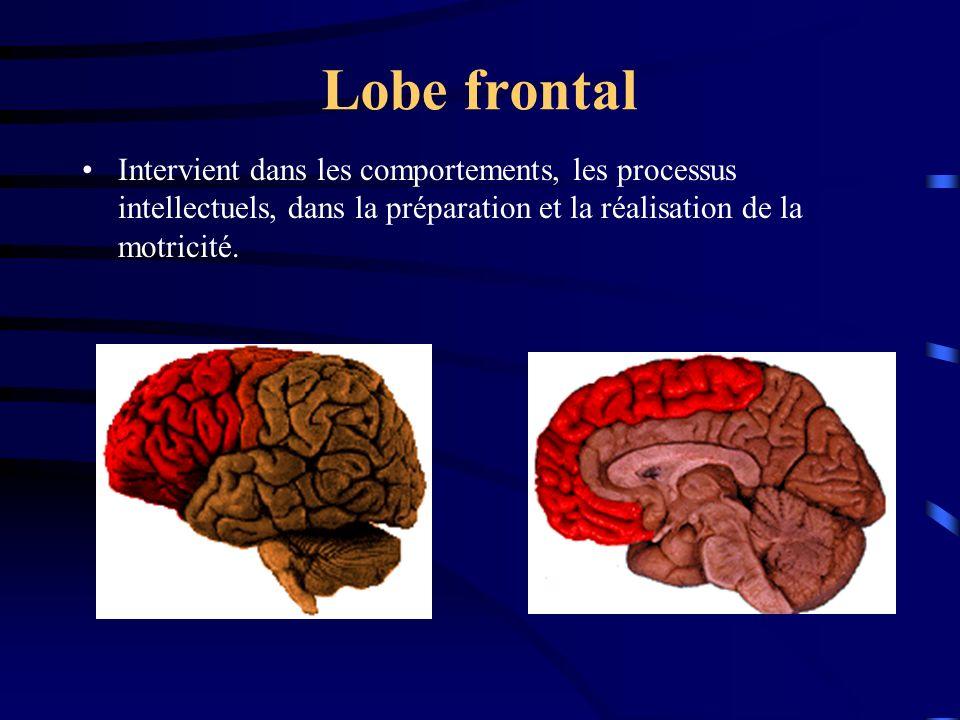 Lobe frontal Intervient dans les comportements, les processus intellectuels, dans la préparation et la réalisation de la motricité.