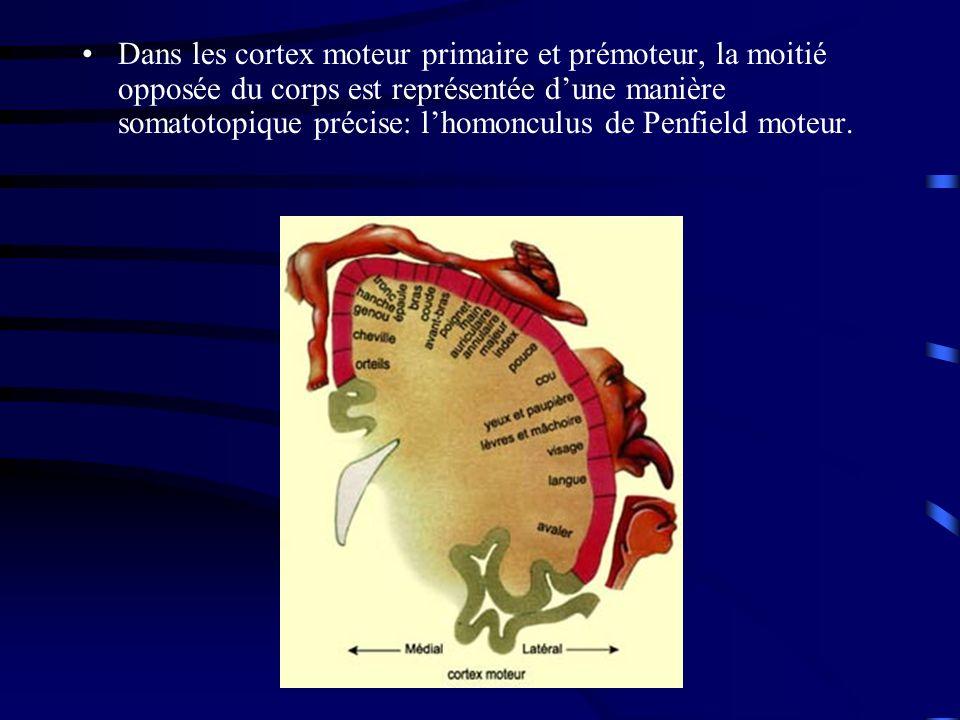 Dans les cortex moteur primaire et prémoteur, la moitié opposée du corps est représentée dune manière somatotopique précise: lhomonculus de Penfield moteur.
