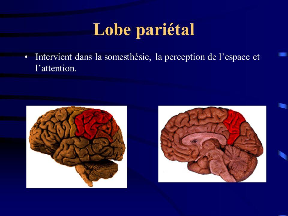 Lobe pariétal Intervient dans la somesthésie, la perception de lespace et lattention.
