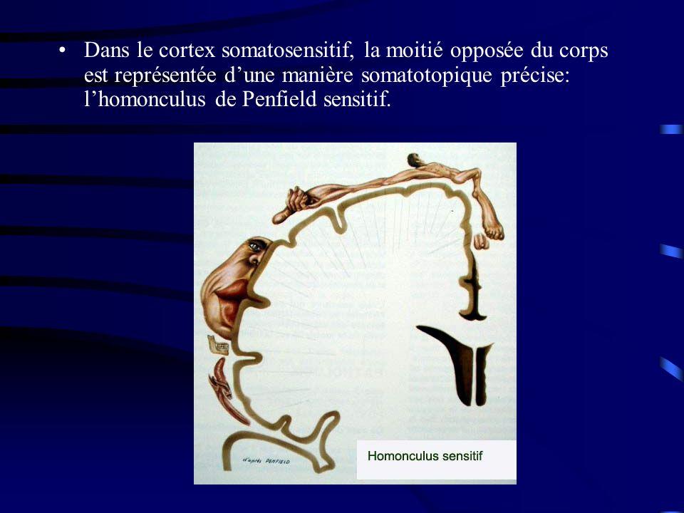 Dans le cortex somatosensitif, la moitié opposée du corps est représentée dune manière somatotopique précise: lhomonculus de Penfield sensitif.