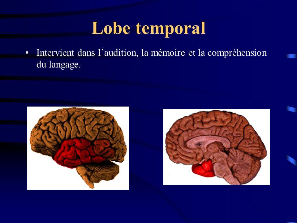 Lobe temporal Intervient dans laudition, la mémoire et la compréhension du langage.