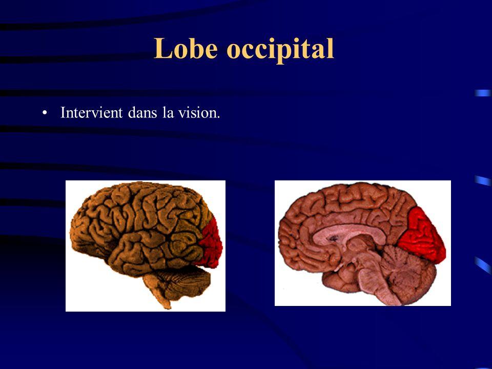 Lobe occipital Intervient dans la vision.