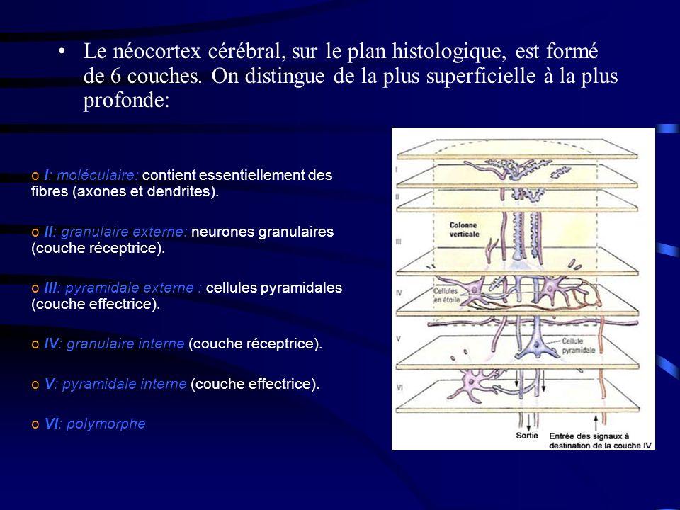 Le néocortex cérébral, sur le plan histologique, est formé de 6 couches.