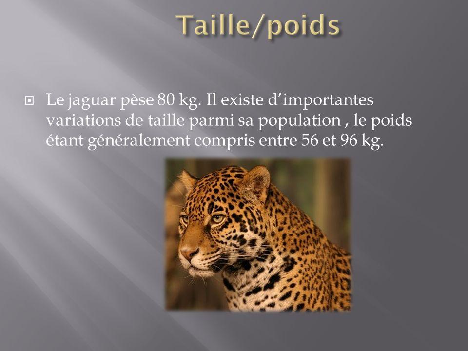 Le jaguar pèse 80 kg. Il existe dimportantes variations de taille parmi sa population, le poids étant généralement compris entre 56 et 96 kg.