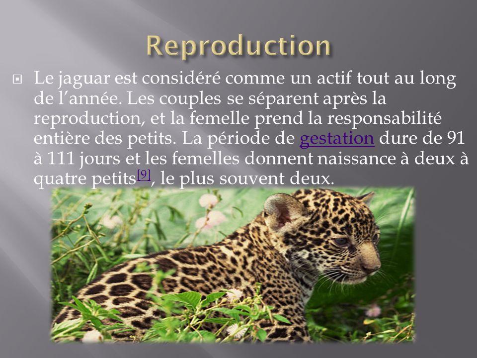 Le jaguar est considéré comme un actif tout au long de lannée. Les couples se séparent après la reproduction, et la femelle prend la responsabilité en