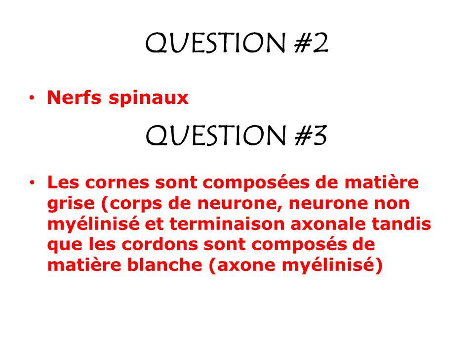QUESTION #2 Nerfs spinaux QUESTION #3 Les cornes sont composées de matière grise (corps de neurone, neurone non myélinisé et terminaison axonale tandi