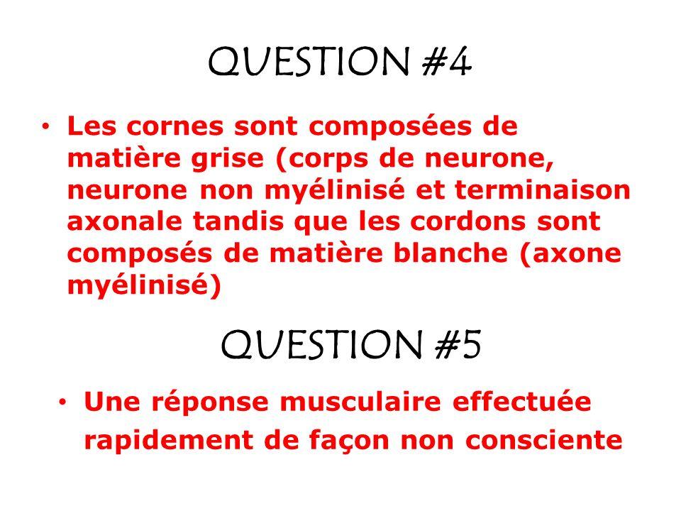 QUESTION #4 Les cornes sont composées de matière grise (corps de neurone, neurone non myélinisé et terminaison axonale tandis que les cordons sont com