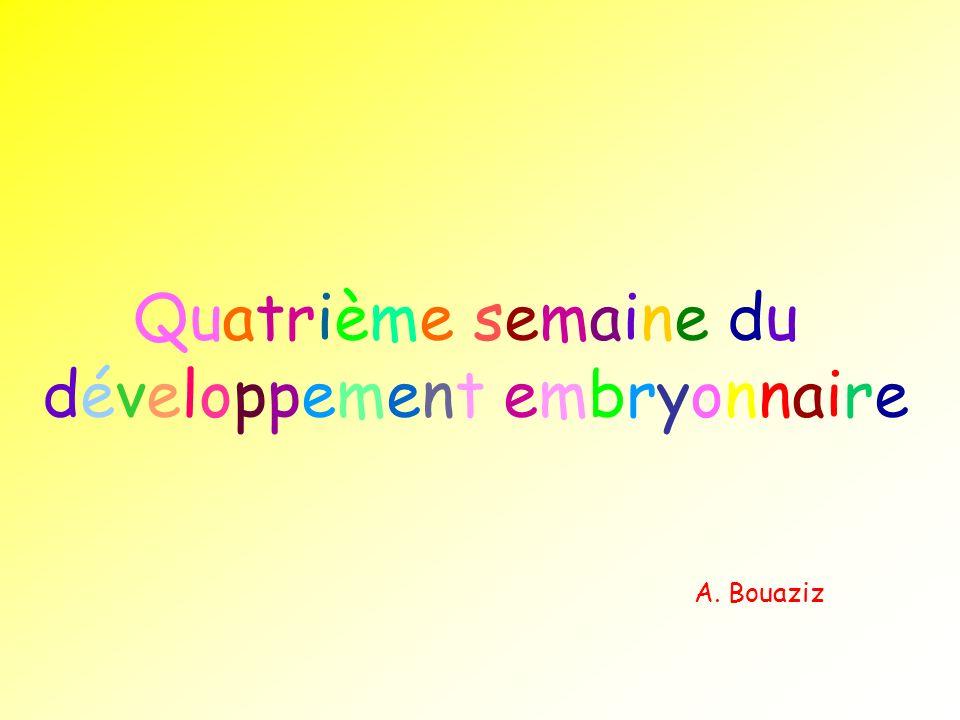 Quatrième semaine du développement embryonnaire A. Bouaziz