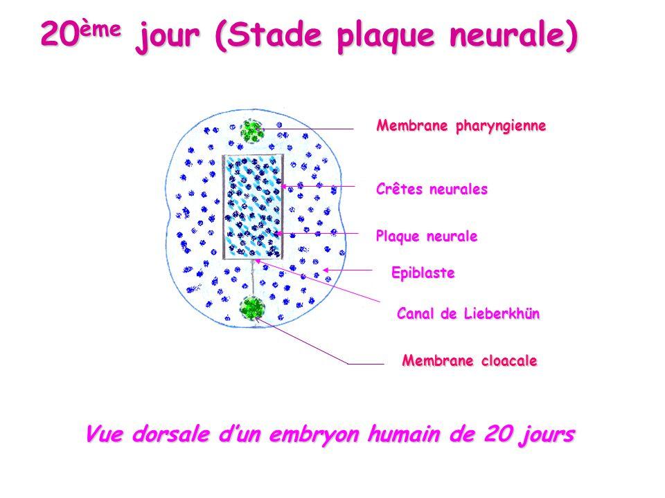 Crêtes neurales Epiblaste Plaque neurale Canal de Lieberkhün Vue dorsale dun embryon humain de 20 jours Vue dorsale dun embryon humain de 20 jours 20 ème jour (Stade plaque neurale) Membrane pharyngienne Membrane cloacale