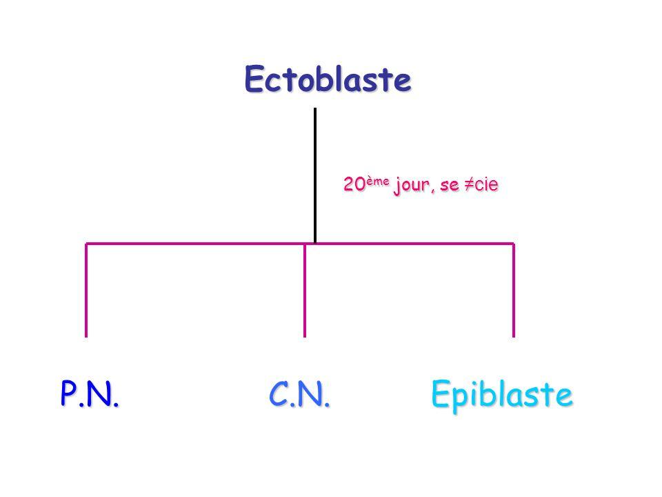 Ectoblaste 20 ème jour, se cie P.N. C.N. Epiblaste