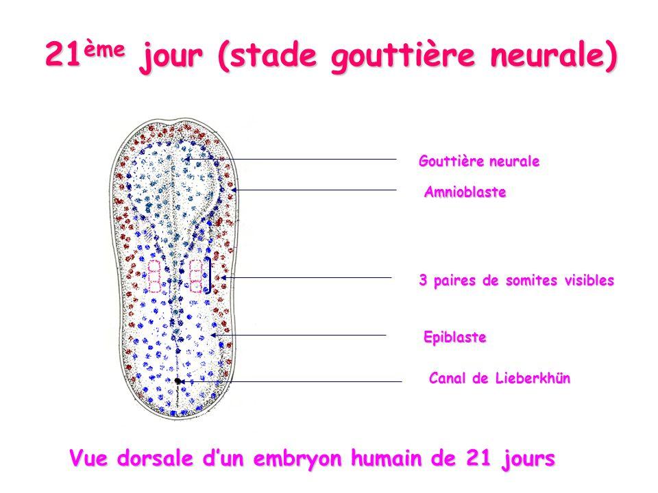 21 ème jour (stade gouttière neurale) Gouttière neurale Epiblaste Amnioblaste 3 paires de somites visibles Canal de Lieberkhün Vue dorsale dun embryon humain de 21 jours Vue dorsale dun embryon humain de 21 jours