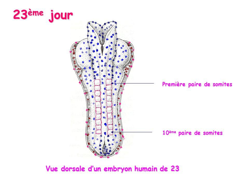 23 ème jour Première paire de somites 10 ème paire de somites Vue dorsale dun embryon humain de 23 Vue dorsale dun embryon humain de 23