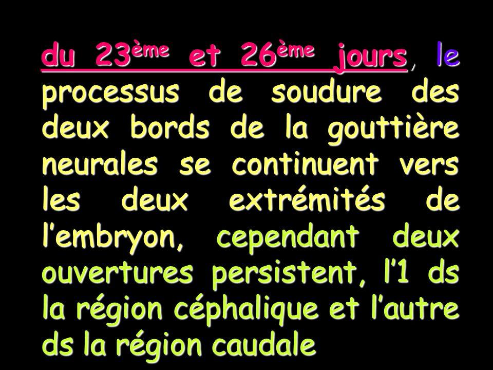 du 23ème et 26ème jours, le processus de soudure des deux bords de la gouttière neurales se continuent vers les deux extrémités de lembryon, cependant deux ouvertures persistent, l1 ds la région céphalique et lautre ds la région caudale