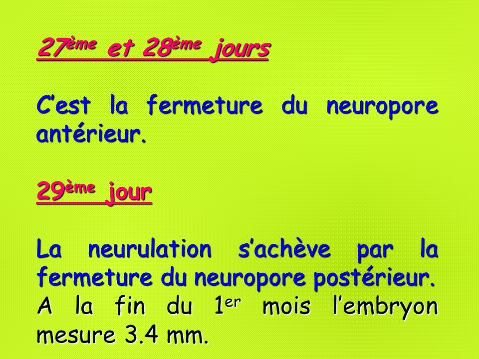 27ème et 28ème jours Cest la fermeture du neuropore antérieur. 29ème jour La neurulation sachève par la fermeture du neuropore postérieur. A la fin du