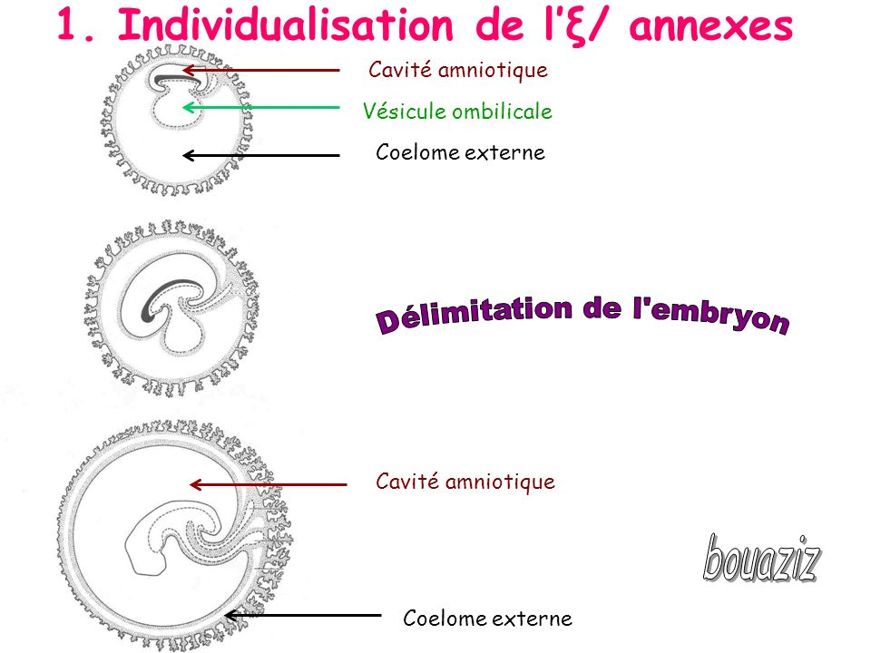 Cavité amniotique Vésicule ombilicale Coelome externe Cavité amniotique Coelome externe 1. Individualisation de lξ/ annexes
