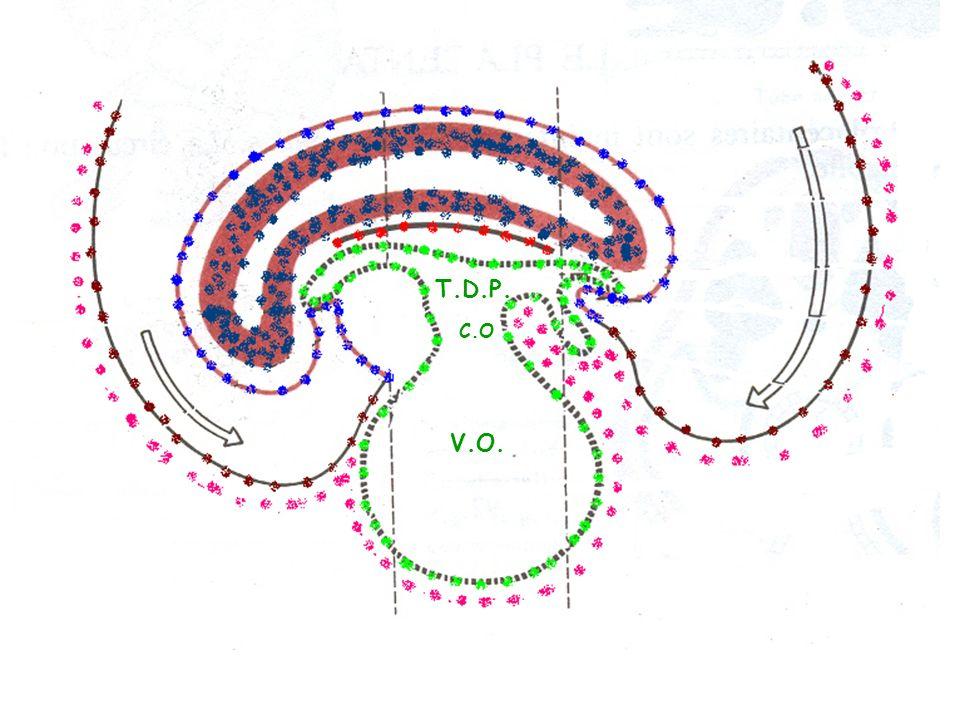 Jusquà la fin 19 ème jour, lξ est planiforme, ensuite il senroule sur lui même selon 2 axes : l1 céphalo-caudal, lautre dorso-ventral L.