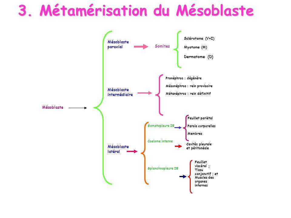 Mésoblaste paraxial Somites Sclérotome (V+I) Myotome (M) Dermatome (D) Mésoblaste intermédiaire Pronéphros : dégénère Mésonéphros : rein provisoire Mé