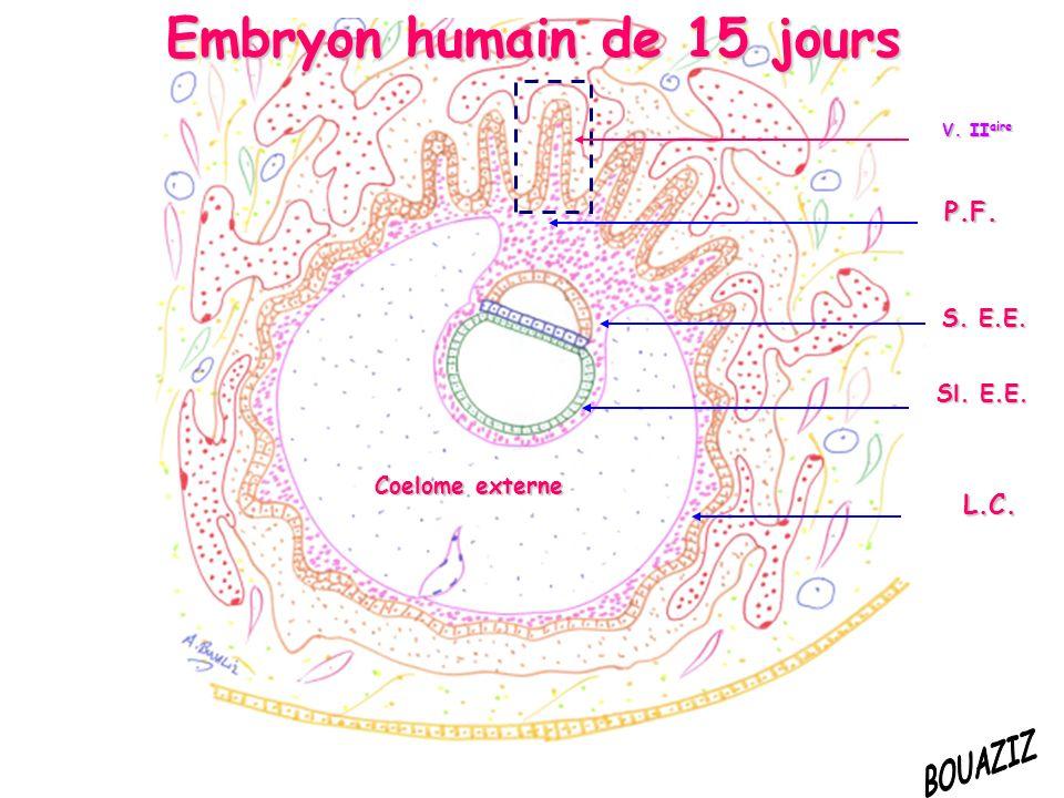 Coelome externe S. E.E. P.F. L.C. Sl. E.E. Embryon humain de 15 jours V. II aire