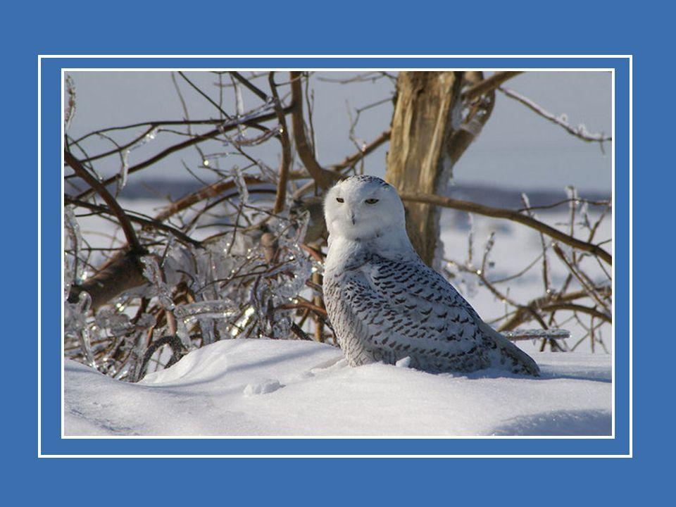 Le harfang des neiges fonde sa famille dans la toundra de l Amérique du Nord.