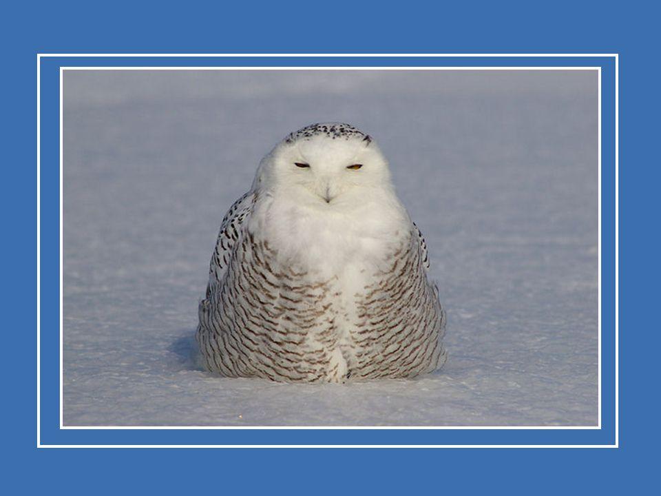 Le harfang des neiges a les yeux jaunes et un petit bec crochu.