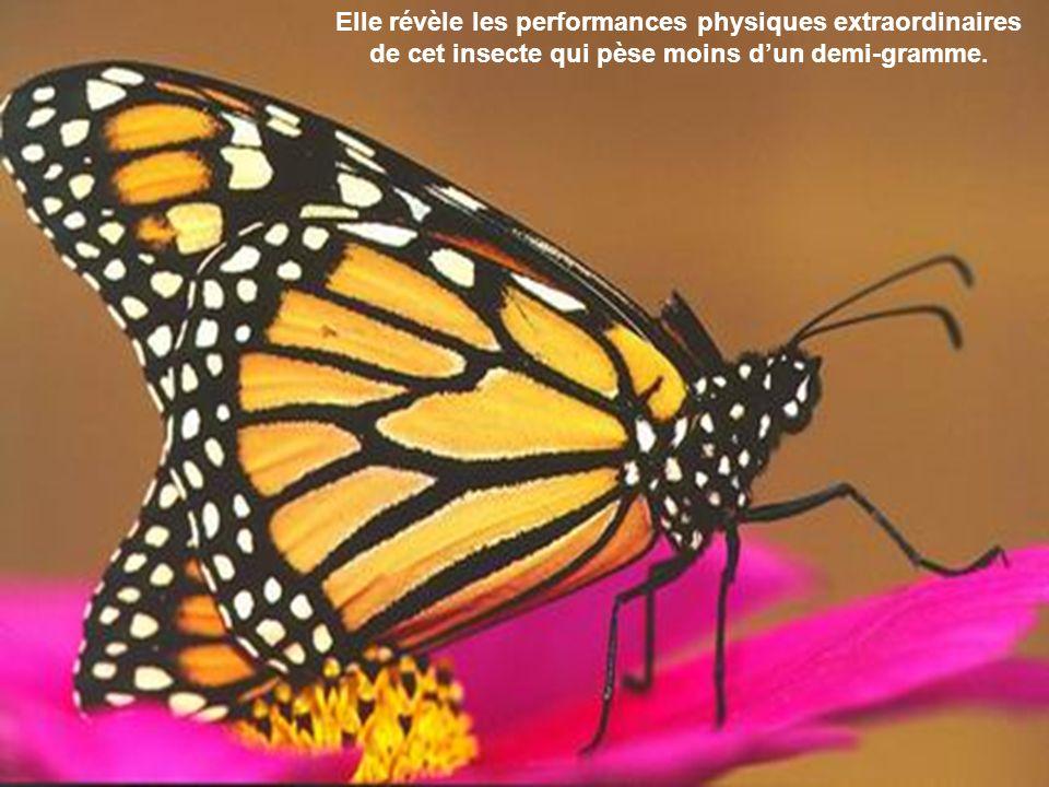 La migration annuelle du monarque est la plus longue jamais observée chez un insecte.