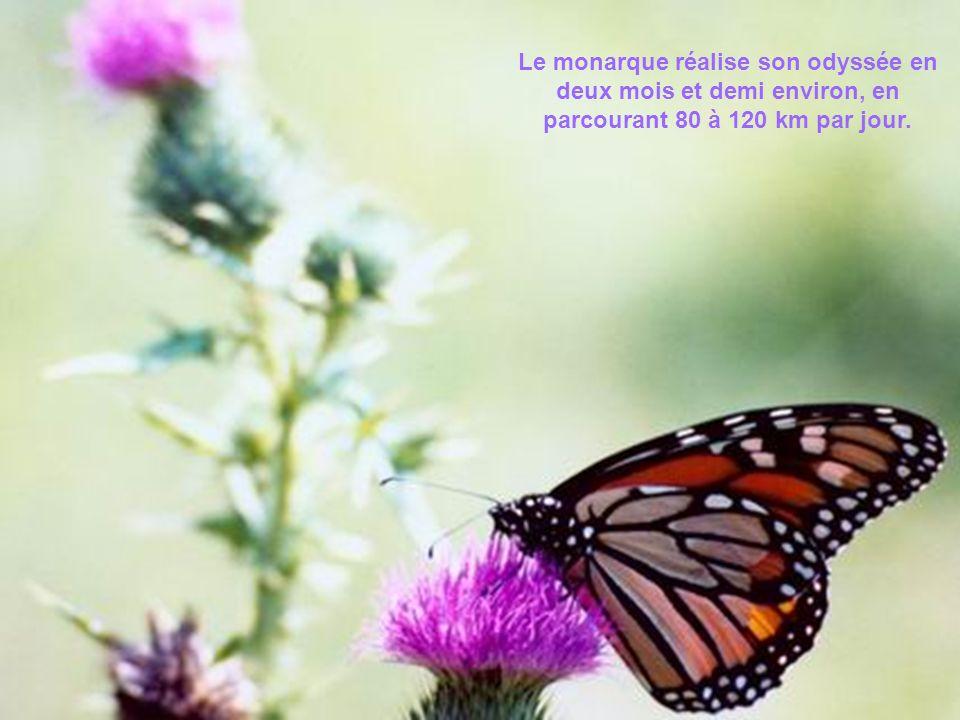 En effet, son exode automnal amène le papillon jusque dans les hautes montagnes du Mexique, cest-à-dire à environ 4 000 km du Québec.