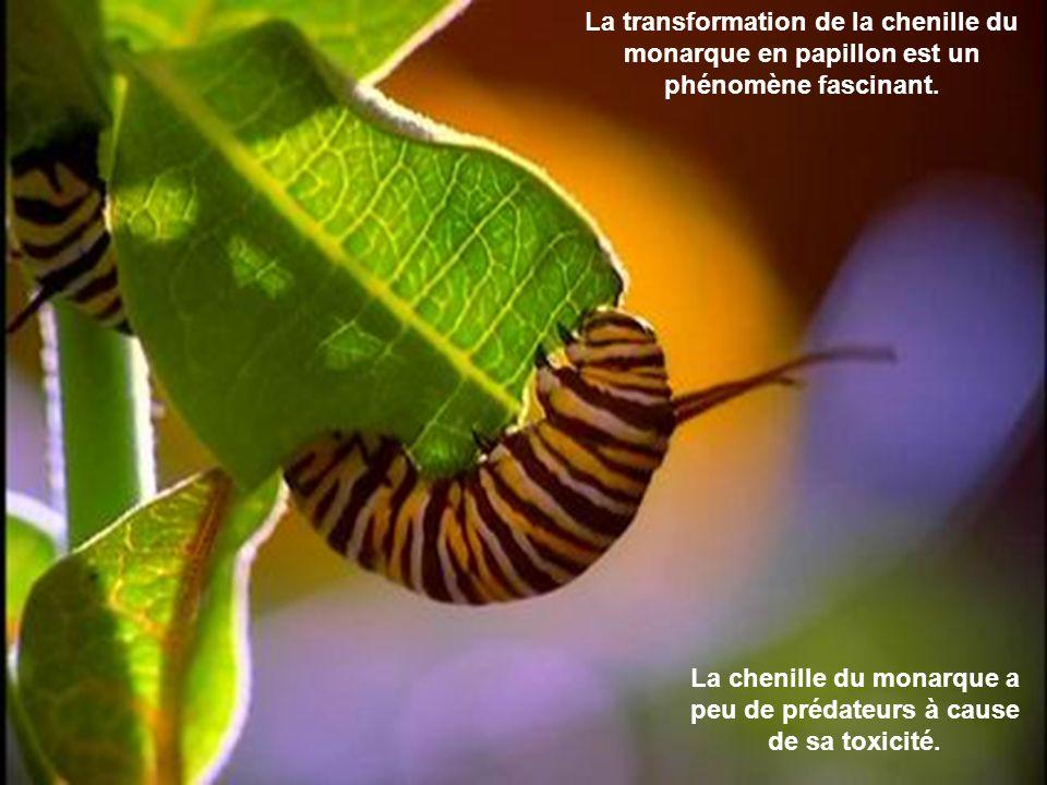Lincroyable odyssée du papillon monarque