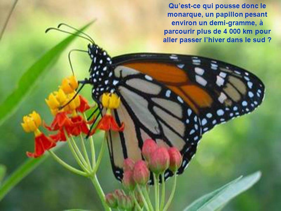 Les papillons participent à la pollinisation de diverses plantes nectarifères en butinant leurs fleurs.