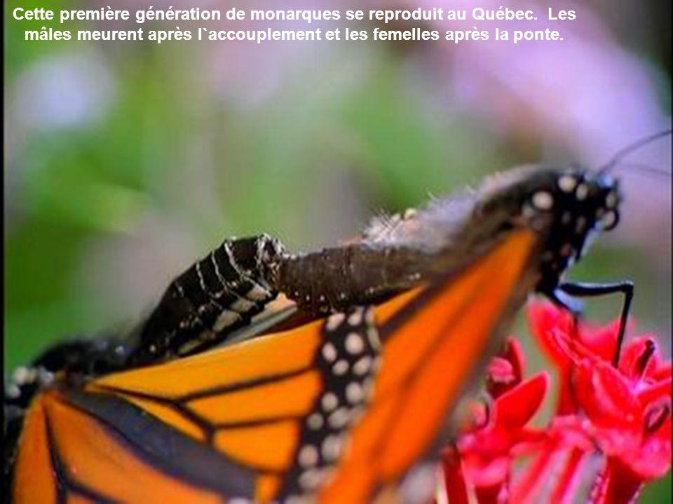 Quest-ce qui pousse donc le monarque, un papillon pesant environ un demi-gramme, à parcourir plus de 4 000 km pour aller passer lhiver dans le sud ?