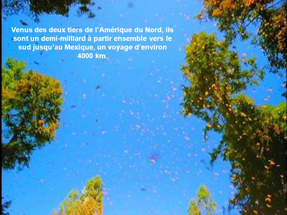 Cette première génération de monarques se reproduit au Québec. Les mâles meurent après l`accouplement et les femelles après la ponte.