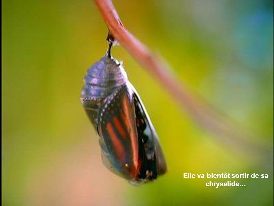 La transformation de la chenille du monarque en papillon est un phénomène fascinant. La chenille du monarque a peu de prédateurs à cause de sa toxicit