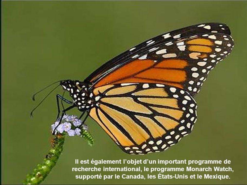 Facilement reconnaissable, cet insecte aux ailes oranges nervurées de noir compte parmi les plus grands papillons diurnes de notre continent.
