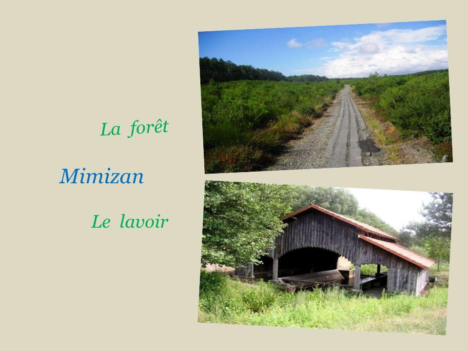 Mimizan Gemmage, récolte de la résine ou gemme