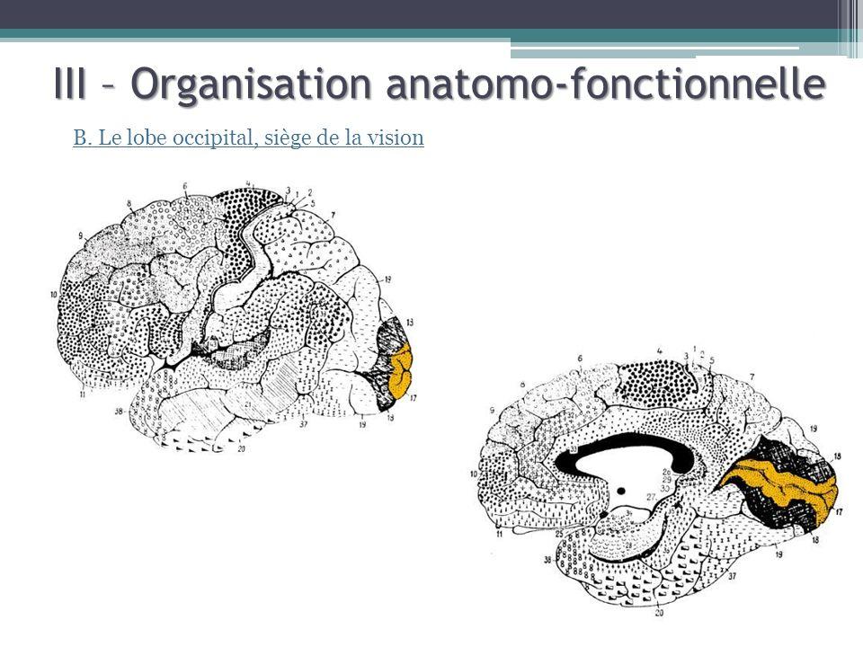 III – Organisation anatomo-fonctionnelle B. Le lobe occipital, siège de la vision