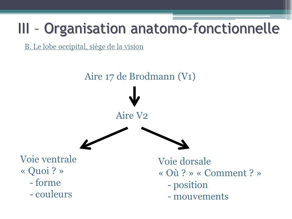 III – Organisation anatomo-fonctionnelle B. Le lobe occipital, siège de la vision Aire V2 Voie ventrale « Quoi ? » - forme - couleurs Aire 17 de Brodm
