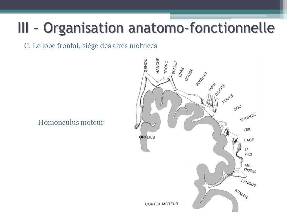 III – Organisation anatomo-fonctionnelle C. Le lobe frontal, siège des aires motrices Homonculus moteur