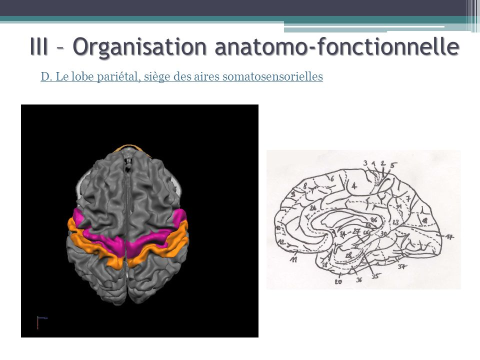 III – Organisation anatomo-fonctionnelle D. Le lobe pariétal, siège des aires somatosensorielles
