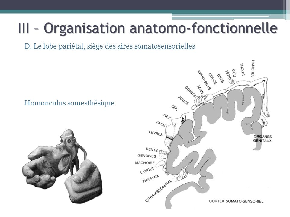 III – Organisation anatomo-fonctionnelle D. Le lobe pariétal, siège des aires somatosensorielles Homonculus somesthésique