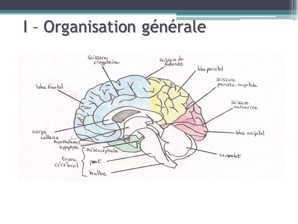 II – Organisation cellulaire Rappels : Morphologie des neurones Neurone pyramidalNeurone étoilé ou granulaire
