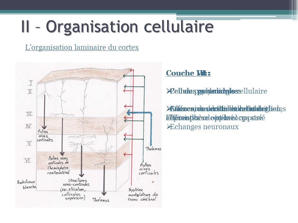 Couche VI : Cellules polymorphes Efférences vers le thalamus et lhémisphère opposé II – Organisation cellulaire Lorganisation laminaire du cortex Couche I : Peu ou pas de corps cellulaire Axones, dendrites et cellules gliales Echanges neuronaux Couche II : Cellules granulaires Connexions cortico-corticales afférentes Couche III : Cellules pyramidales Connexions cortico-corticales efférentes Couche IV : Cellules granulaires Afférences du thalamus et de lhémisphère cérébral opposé Couche V : Cellules pyramidales Efférences vers le bulbe rachidien, lépine dorsale et le corps strié